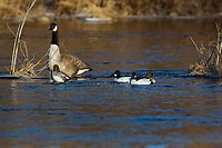 Common goldeneye and Candaa goose resting on the Chippewa River in northern Wisconsin