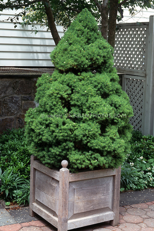 Picea glauca var albertina 'Conica'  in pot Alberta spruce tree evergreen in container planter on patio next to house north facing corner wall