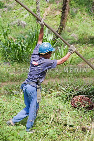 A worker raising a tall harvesting pole to cut palm fruit from high in the trees. The Sindora Palm Oil Plantation, owned by Kulim, is green certified by the Roundtable on Sustainable Palm Oil (RSPO) for its environmental, economic, and socially sustainable practices. Johor Bahru, Malaysia