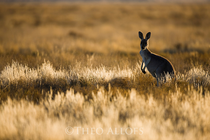 Australia,  NSW, Sturt National Park; red kangaroo (Macropus rufus) in grassland; the red kangaroo population increased dramatically after the recent rains in the previous 3 years following 8 years of drought