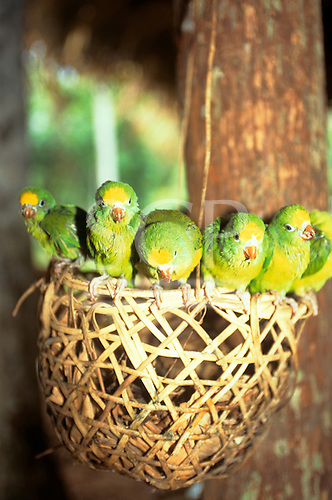Amazon, Brazil. Six green parrots perched on a basket; Rio Negro, Amazonas State.