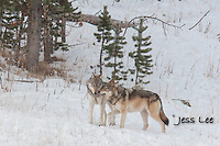 sub adult wolves playing