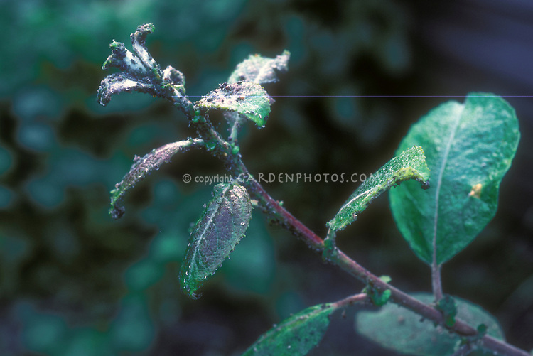 Aphids pest insects on apple shoot (Malus domestica fruit tree)