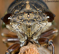0901-0831  Close-up of Dog-day Cicada, Tibicen spp.  © David Kuhn/Dwight Kuhn Photography.