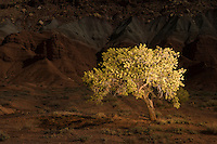 light painting of a pinyon pine