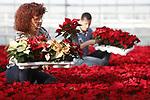 Foto: VidiPhoto<br /> <br /> POELDIJK &ndash; Medewerkers van Kwekerij Kuivenhoven uit Poeldijk rapen dinsdag de eerste kerststerren van het seizoen. Door het warme en zonnige weer van de afgelopen periode zijn de planten nu al rijp; twee weken eerder dan normaal. Deze week verlaten de eerste 10.000 Poinsettia&rsquo;s in negn verschillende kleuren de kas. De Westlandse kweker levert de komende maanden in totaal zo&rsquo;n 400.000 kerststerren aan supermarkten, tuincentra en bloemisten in Nederland, Duitsland en Frankrijk. Dit jaar wordt een recordaantal van 17,5 miljoen kerststerren geleverd door 72 verschillende kwekers. Behalve rode zijn ook witte en roze kerststerren populair. De piekperiode voor Poinsettia&rsquo;s ligt eind november-begin december.