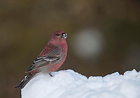 Pine grosbeak, Pinicola enucleator, Finland, Winter