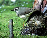 Adult Louisiana waterthrush