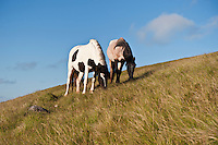 Welsh mountain ponies feed on grassy hillside, Hay Bluff, Wales