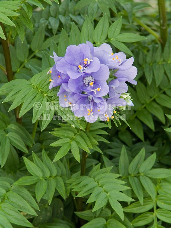 Bressingham Purple Jacob's Ladder, Polemonium caeruleum