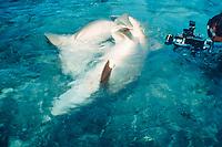 filmmaker films mating nurse sharks, Ginglymostoma cirratum, Florida Keys ( Gulf of Mexico )