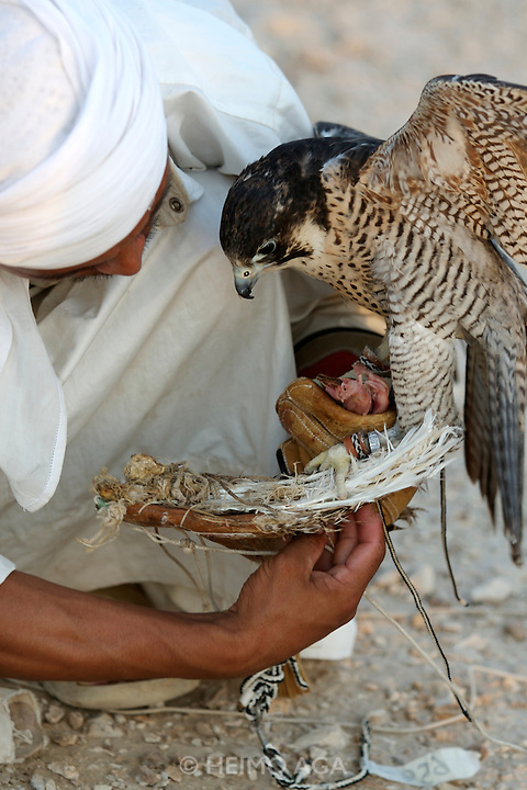 The Nepali falconer of Sheik Saoud feeding one of the Sheik's falcons after a successful hunt.