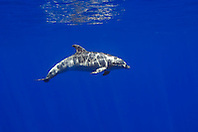 wild bottlenose dolphin, Tursiops truncatus, off Kona Coast, Big Island, Hawaii, Pacific Ocean.