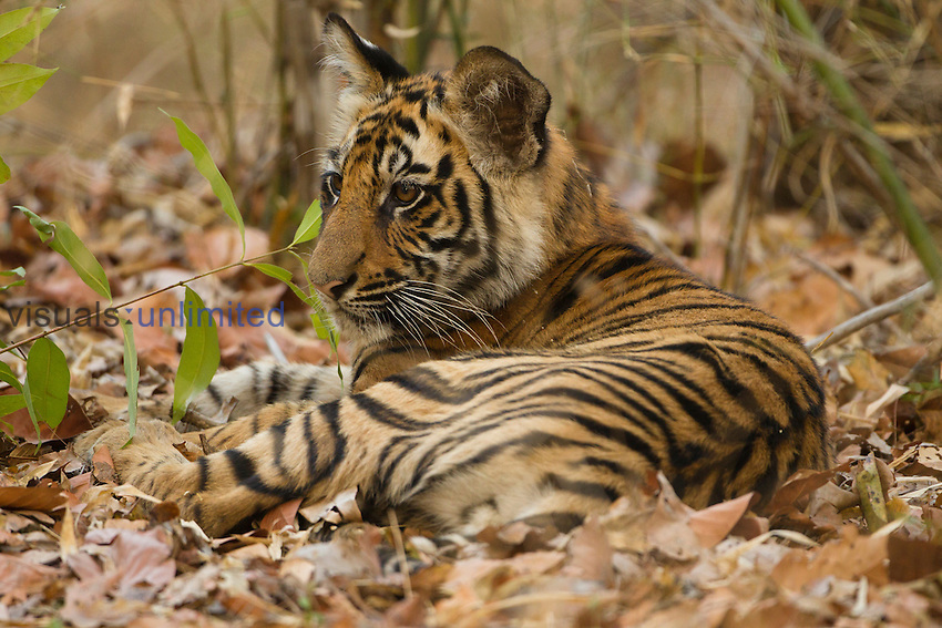 Young Bengal Tiger (Panthera tigris tigris) resting in leaf litter, Bandhavgarh National Park, Madhya Pradesh, India