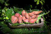 Polynesian sweet red potato ready for selling in vegetables market