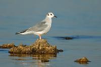 Bonaparte's Gull - Chroicocephalus philadelphia - Adult non-breeding