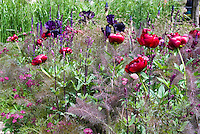 Purple fennel (Foeniculum vulgare 'Purpureum' amid Astrantia, Paeonia peonies, iris, spring garden
