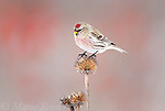 Common Redpoll (Carduelis flammea) perching on coneflower seedhead in winter, New York, USA