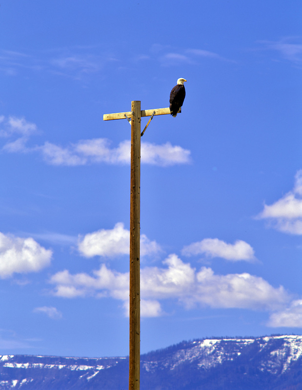 Bald Eagle on bird perch at Summer Lake State Wildlife Refuge, Oregon