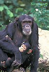 Africa, East Africa, Tanzania, Gombe NP<br /> Female chimpanzee (Pan troglodytes) with infant, in Northern Community, Mitumba Valley