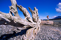 A Large Driftwood Tree Trunk and Root, and Hiker, on a West Coast Beach near Tofino, on Vancouver Island, British Columbia, Canada (Model Released)