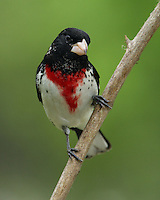 Rose-breasted Grosbeak in an 8x10 format.