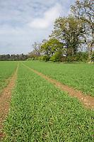 Spring barley - Norfolk, April