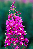 Fireweed blossom in full bloom, Denali National Park, Alaska
