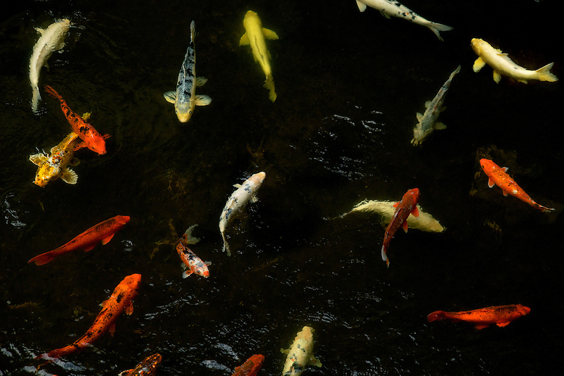 koi in pond at Four Seasons. Lanai, Hawaii