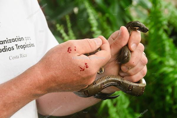 A non-venomous bite from a small Boa Constrictor (Boa constrictor), Bocas del Toro, Colon Island, Panama