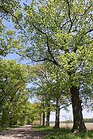 Allee aus Stiel-Eiche, Stieleiche, Stiel - Eiche, Baumallee, Qurcus robur, hellgrünes Laub im Frühjahr, English Oak, Chêne commun, avenue, oak avenue