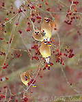 Cedar Waxwings (Bombycilla cedrorum) four eating crabapples in late winter, Ithaca, New York, USA