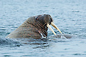 A large aggressive bull walrus flashes his tusks at a rival off the coast of Lagoya Island, Nordaustlandet, Svalbard.