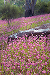 garland lilies (Calostemma purpureum), Flinder Ranges National Park, South Australia, Australia