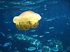 Fried egg jellyfish in the Mediterranean Sea<br /> <br /> Medusa Huevo Frito en el Mar Mediterraneo<br /> <br /> Spiegeleiqualle im Mittelmeer<br /> <br /> 2048 x 1536 px<br /> 150 dpi: 34,68 x 26,01 cm<br /> 300 dpi: 17,34 x 13 cm