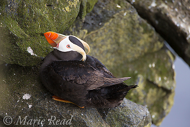 Tufted Puffin (Fratercula cirrhata), resting on rock, Reef Pt. St. Paul Island, Pribilofs, Alaska, USA