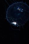 Aequorea Jellyfish with fish , Black Water, Gulf Stream Current, Off SE Florida, Atlantic Ocean