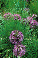 Allium christophii with Molina caerulea ssp.caerulea 'Edith Duszus', ornamental onion with ornamental grass in planting combination, perennials