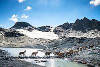 Ibex cross a small stone path through a mountain lake, Switzerland