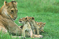 656257073 three wild african lion cubs interact with their lioness mother on a grassy knoll in ngorogoro crater in tanzania