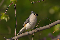 Tufted Titmouse (Parus bicolor).  Eastern U.S.,  May.