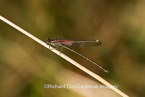 06015-001.07 American Rubyspot (Hetaerina americana) male, Embarras River, Jasper Co. IL