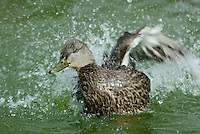 American Black Duck (Anas rubripes) hen bathing.