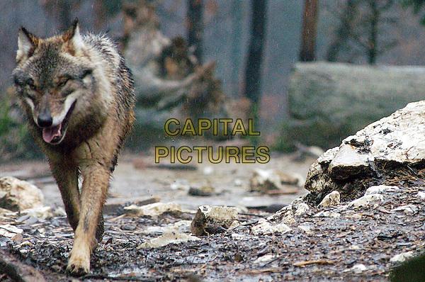 Wolf .Canis lupus. wolf wolves animal animals fur .CAP/CAV.©Luca Cavallari/Capital Pictures.