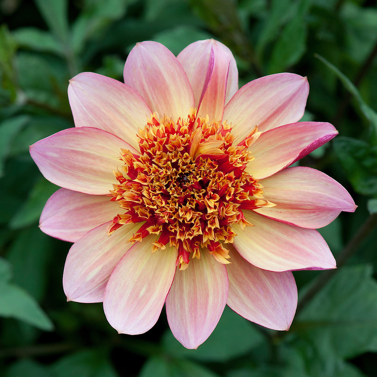 Dahlia 'Floorinoor', mid August. Anemone-Flowered Group.
