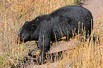Black Bear, Roosevelt Lodge, Yellowstone National Park, Wyoming