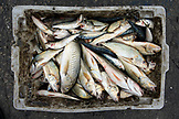 BRAZIL, Rio de Janiero, a tub of fresh caught fish, Harbor Praca XV