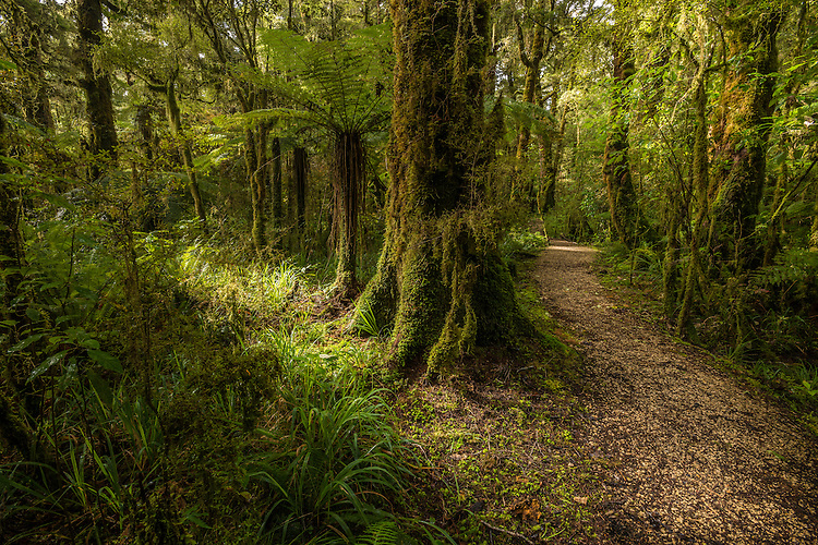 Walking track, Native bush, Oparara Basin, Karamea, New Zealand - stock photo, canvas, fine art print