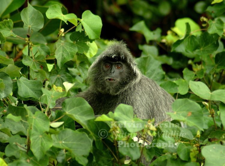 Silver leaf monkeys are also known as silvered langurs. There are quite a number of leaf monkey species in tropical zones around the world and Bako National Park is home for this particular species scientifically known as Trachypithecus cristatus of sub-family Cercopithecidae.
