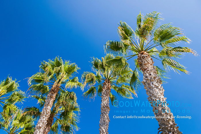 palm trees, Coronado Island, San Diego, California, USA, Pacific Ocean
